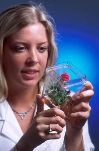 rose_grown_from_tissue_culture