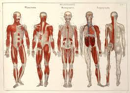 anatomy-view-front